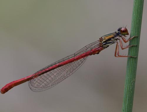 La red de charcas de Ulia: hogar de anfibios, caballitos del diablo y libélulas